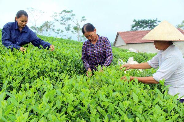 Bón phân cân đối và hợp lý cho cây chè xanh