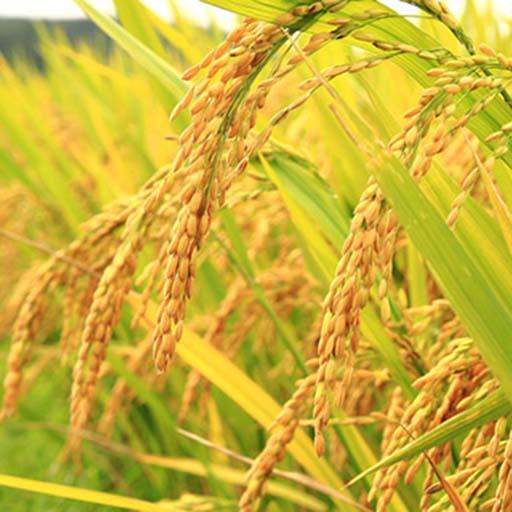 Quy trình và kỹ thuật bón phân cho lúa mang lại năng suất cao